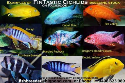 African Cichlids...3 colourful display packs direct from breeder!