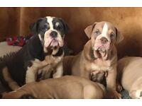 2 girls from 14 leftREDUCED PRICE British bulldog puppies