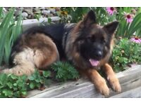 German shepherd dog free to a good home. Will be moving country in 1 week and cant take him with us