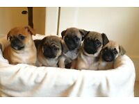 French bulldog x pug 'frug' puppies