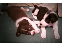 Rare tri-red & black, white and tan Border Collie pups for sale