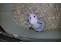 BARGAIN!!! WHITE SYRIAN HAMSTER WITH CAGE AND EXTRAS FOR SALE!!!!!!!!!!!