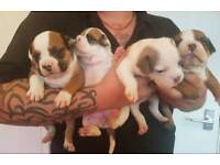 Olde English bulldog puppies MUST SEE