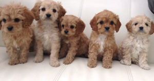 First Generation CAVOODLES Waitara Hornsby Area Preview