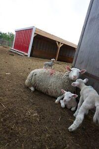Bred ewe lambs