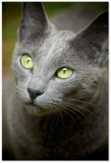 LOST CAT - PIXEL. Female Russian Blue, much loved. Loganlea Logan Area Preview