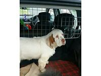 Clumber Spaniel bitch, 20 weeks old