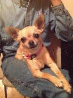 "Adult Female Dog - Chihuahua: ""Emme"""