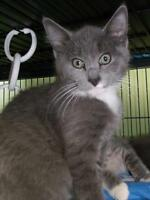 "Baby Male Cat - Domestic Short Hair: ""Kenny"""