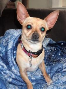"Adult Female Dog - Chihuahua: ""LUNA NEEDS YOUR HELP!"""