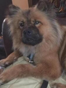 "Adult Female Dog - Chow Chow: ""Bowie"""