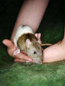 """Young Female Small & Furry - Rat: """"Mindy"""""""