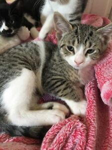"Baby Female Cat - Domestic Short Hair: ""lindsey"""