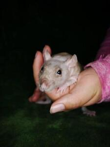 """Young Male Small & Furry - Rat: """"Ernest"""""""