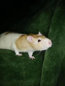 """Young Male Small & Furry - Rat: """"Romeo"""""""