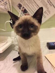 "Baby Male Cat - Domestic Medium Hair: ""Cuddles"""