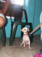 "Adult Male Dog - Poodle: ""Villo"""