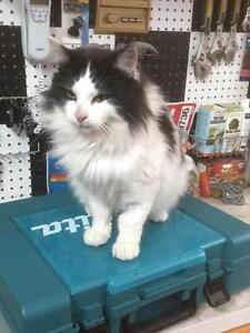 """Adult Male Cat - Domestic Long Hair-black and white: """"Kiki"""""""