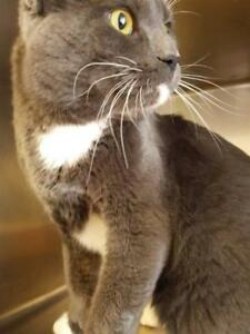"Adult Male Cat - Domestic Short Hair: ""Norman"""