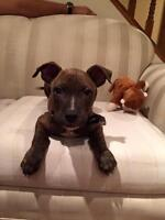 "Baby Male Dog - Pit Bull Terrier: ""Kingston"""