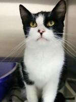 """Young Male Cat - Domestic Short Hair: """"Chairman Moo"""""""