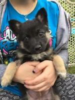 "Baby Female Dog - German Shepherd Dog: ""KD Lang"""