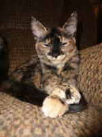 "Young Female Cat - Domestic Short Hair: ""Ariel"""