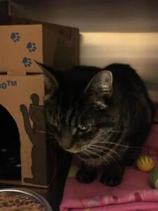"Adult Male Cat - Domestic Short Hair: ""Pete"""