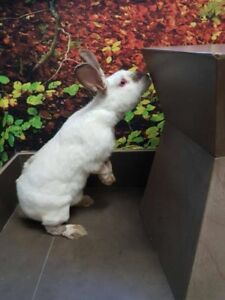 "Adult Female Rabbit - Californian: ""Spinach -- URGENT"""