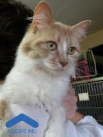 """Young Female Cat - Domestic Medium Hair: """"Tricky"""""""