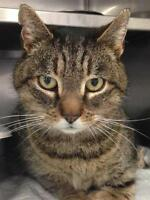 "Adult Male Cat - Domestic Short Hair: ""Thumper"""