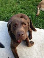 "Adult Female Dog - Chocolate Labrador Retriever: ""Coco"""