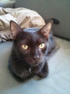 "Adult Female Cat - Domestic Short Hair-black: ""Huguette"""