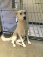 "Adult Female Dog - Husky: ""Baby Girl - In foster"""