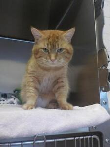 """Adult Male Cat - Domestic Short Hair - orange and white: """"Jimmy"""""""