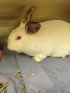 "Adult Female Rabbit - Californian: ""Stella Star"""