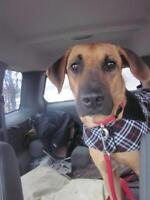 "Adult Male Dog - German Shepherd Dog-Rhodesian Ridgeback: ""Izzy"""