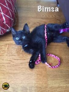 "Baby Male Cat - Domestic Short Hair: ""Kittens!"""