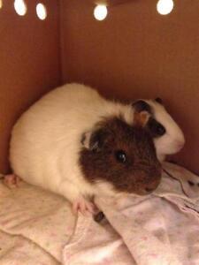 "Adult Female Small & Furry - Guinea Pig: ""Fawny"""