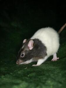 "Young Male Small & Furry - Rat: ""Clyne"""
