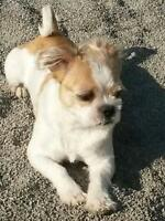 "Adult Male Dog - Shih Tzu: ""Nico"""