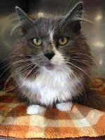 "Adult Female Cat - Domestic Long Hair: ""Scarlet"""