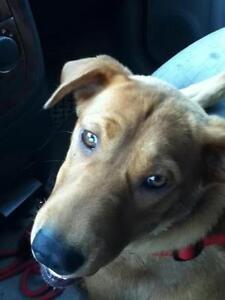 """Young Female Dog - Retriever-Husky: """"Syren"""""""