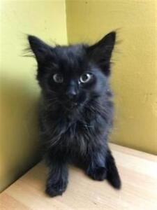 """Baby Male Cat - Domestic Long Hair: """"Rocky"""""""