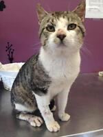 "Adult Male Cat - Domestic Short Hair: ""Dan"""