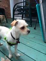 """Young Male Dog - Chihuahua-Jack Russell Terrier: """"Chapo"""""""