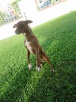 "Young Male Dog - Whippet: ""Roger"""