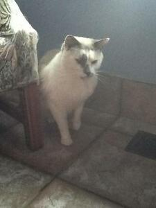 "Adult Male Cat - Siamese: ""Chase"""