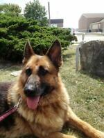 Adult Female  - German Shepherd Dog