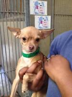"Adult Female Dog - Chihuahua: ""Jamie"""